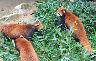 大陸將贈送臺灣3只小熊貓