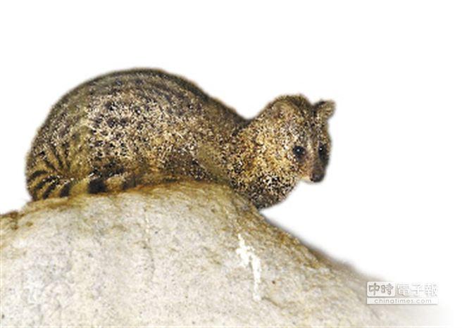 麝香貓是第2級珍貴稀有野生動物,學者憂心成為下一波狂犬病毒的受害者。(台北市立動物園提供)