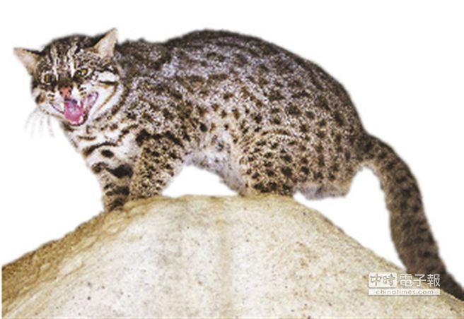 石虎是瀕臨絕種的野生動物,也面臨成為狂犬病毒新宿主的危險。