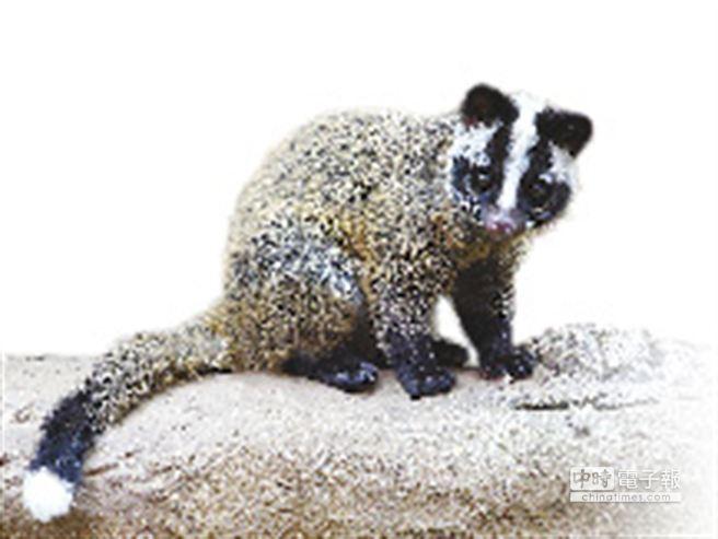 白鼻心因與鼬獾外型神似,日前曾發生疑遭人蓄意亂棒打死的事件。(台北市立動物園提供)