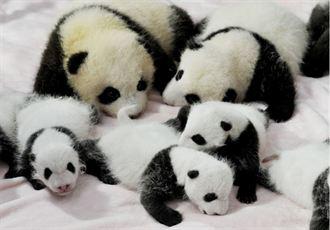 超萌!成都14只大熊猫宝宝集体亮相