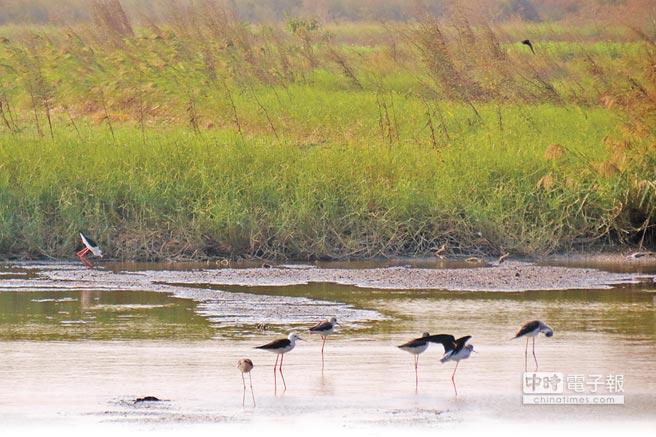 溼地嬌客↑口湖鄉的成龍溼地,面積約171公頃,是許多候鳥的新天堂樂園。(本報資料照片)
