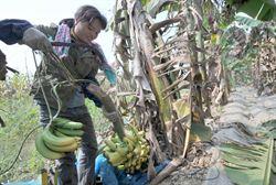 廣西壇洛20萬畝香蕉紮堆早熟無人問津爛地裏