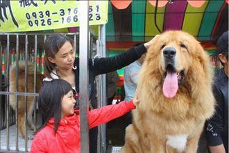 新竹巨型犬展 上百隻名犬齊聚一堂