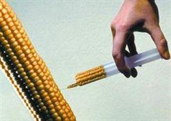 近2月 陸拒美逾50萬噸基改玉米