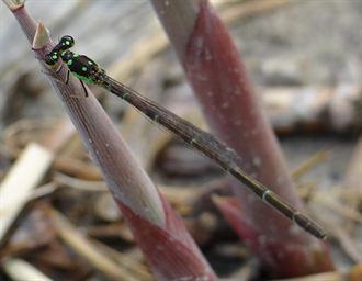 基隆河右岸 發現近危物種「四斑細蟌」