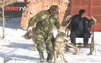 與狼共舞!新疆狼爸 訓練狼拉雪橇