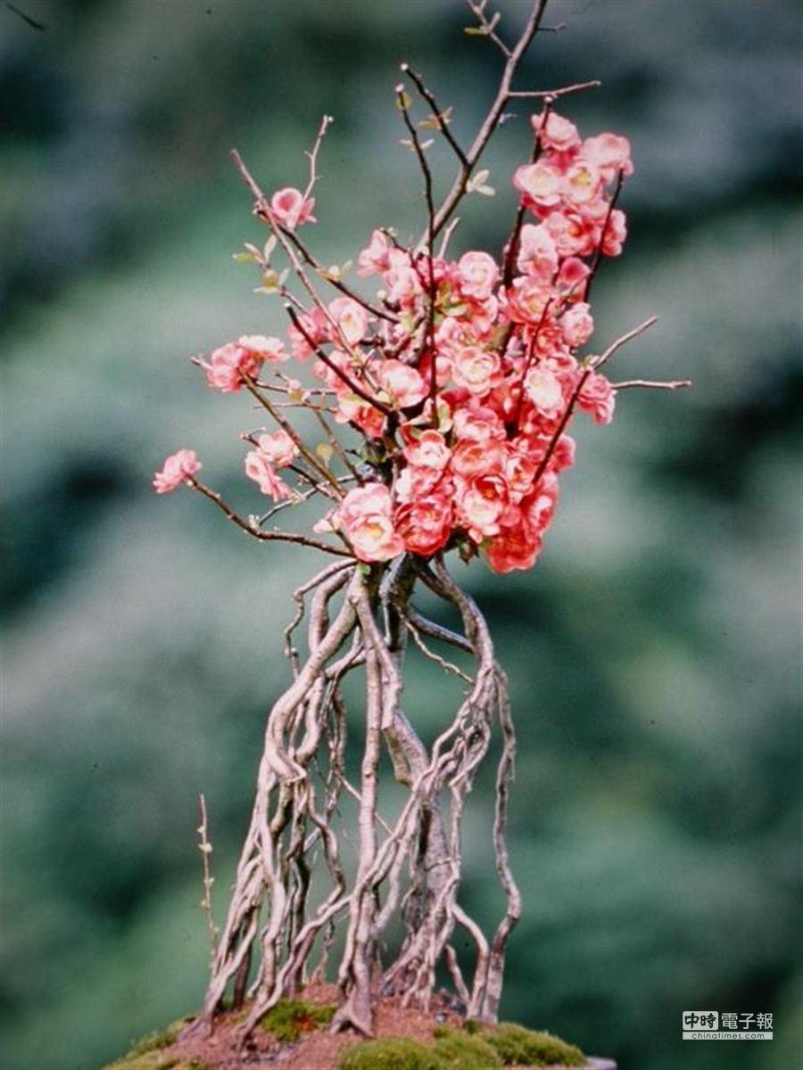 高貴典雅的寒梅盆栽。(崔慈悌)