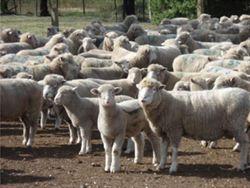 青海推廣藏羊高效養殖技術