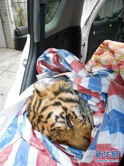 東北虎屍遭偷運 溫州警方逮人
