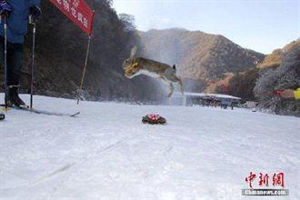 動物滑雪賽 龜贏兔奪第三
