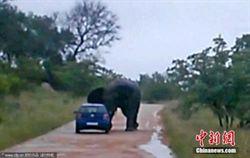 情侶偷拍公象喝水遭怒襲 車被掀翻