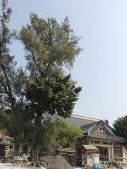 彰化百年木麻黃遭雀榕纏覆 快來救