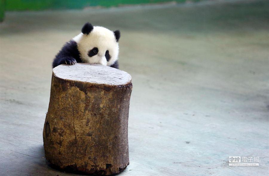 媽媽忙著吃早餐,圓仔只好很無趣的走開,躲在木頭後面。(鄧博仁攝)