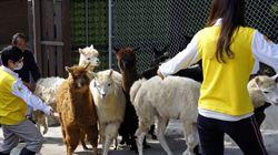 壽山動物園 羊駝報到