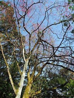 大同私房景點 看百年櫻花王盛開