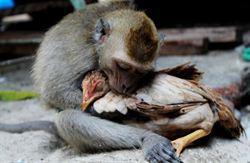 猴子愛上雞 八指交扣情意濃