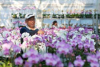 蝴蝶蘭再漲 日本想自己培苗