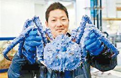 獲紫藍色帝王蟹 日商當吉兆