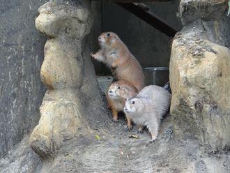 溫帶動物區新朋友-黑尾草原犬鼠