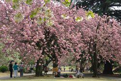 日本櫻花即將盛開 賞花資訊看這邊