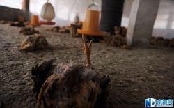 廣州養雞場驚傳7000雞隻暴斃