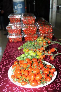 後龍玉女蕃茄盛產 甜度達12度