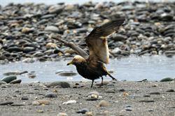 冬候鳥黑尾鷗 沾油汙猛洗澡