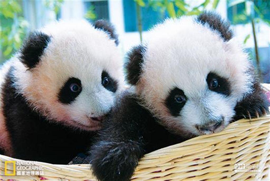 雙胞胎「平平」、「安安」是2008年汶川大地震後全球出生的第一對大貓熊寶寶。 (攝影:羅小韻)