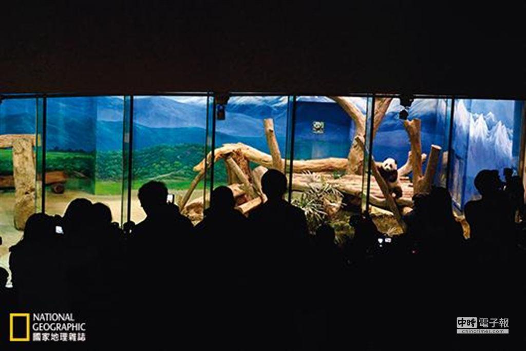 圓仔是台灣最受矚目的動物寶寶,吸引全台各地的參觀者來到台北市立動物園,曾單日吸引2萬3000多名遊客。 (攝影:詹德川)