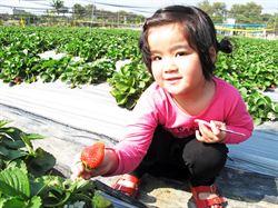 搶粉紅商機 阿蓮草莓園推冰淇淋