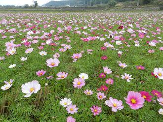 今年度再生稻不得繳交公糧 農民不滿