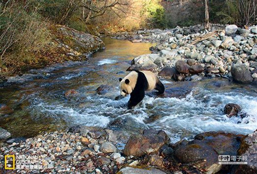 一隻野生大貓熊在陝西省「長青國家級自然保護區」內涉水而過。科學家期望透過野化放歸人工繁殖的大貓熊來壯大野生的小種群,但透過對自然棲地與既有種群的保護,才是真正確保大貓熊在野外生存的根本之道。 (攝影:向定乾)