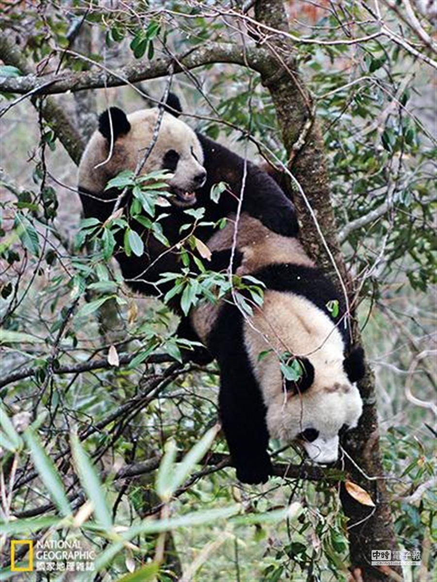 大貓熊習於獨來獨往,雄性貓熊在短暫的繁殖季完成交配後便回到獨居生活,哺育中的幼仔會跟媽媽生活在一起。 (攝影:向定乾)
