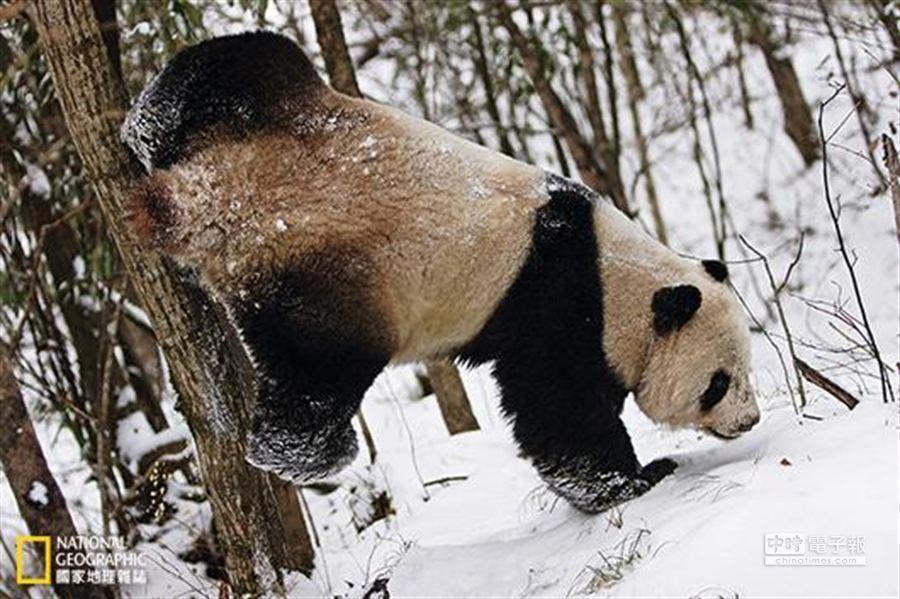 每年3月積雪開始融化,萬物萌發之時,便是貓熊的繁殖季。陝西長青國家級自然保護區內,一隻求偶期的野生大貓熊在樹上留下自己的氣味標記,藉此吸引交配對象。 (攝影:向定乾)