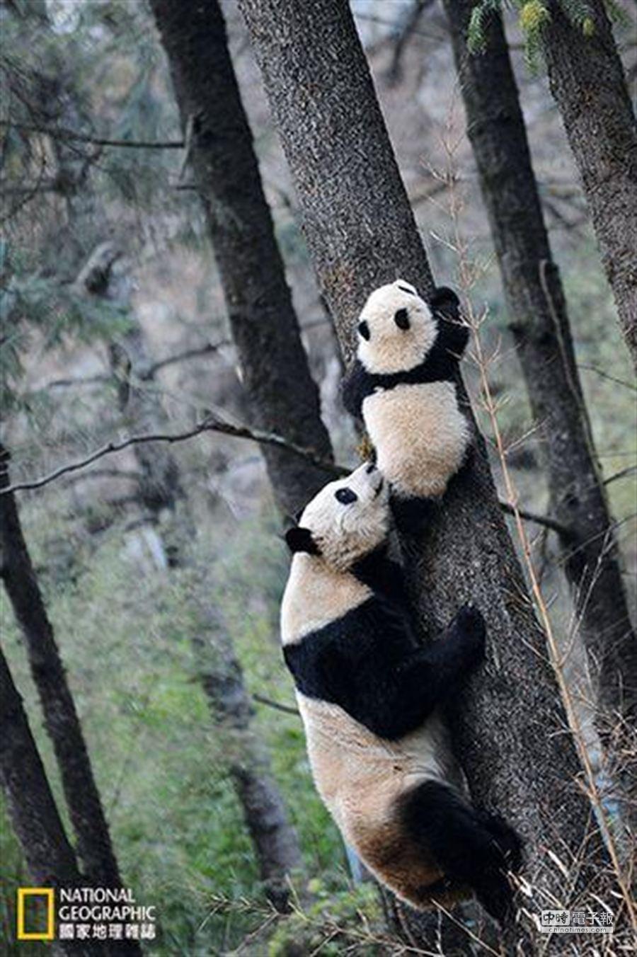全球首隻誕生於野化培訓場的貓熊「淘淘」五個多月大時,與母親「草草」一起在臥龍的核桃坪野化培訓基地練習爬樹,為2012年10月正式放歸做準備。(攝影:羅小韻)