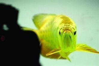係金ㄟ 風水魚要價236萬台幣