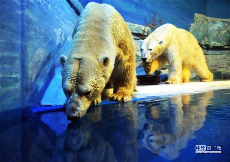 圖2010年1月29日,哈爾濱極地館的兩隻北極熊準備下水。 王建威攝影