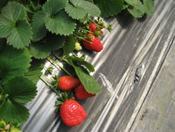 都市採果樂 內湖草莓季登場