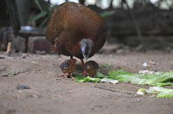 青鸞跨機構繁殖 保育成功