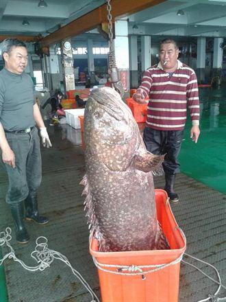 東石漁民捕獲66公斤大石斑魚