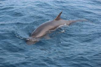 琉球復育海洋有成 海豚群出沒