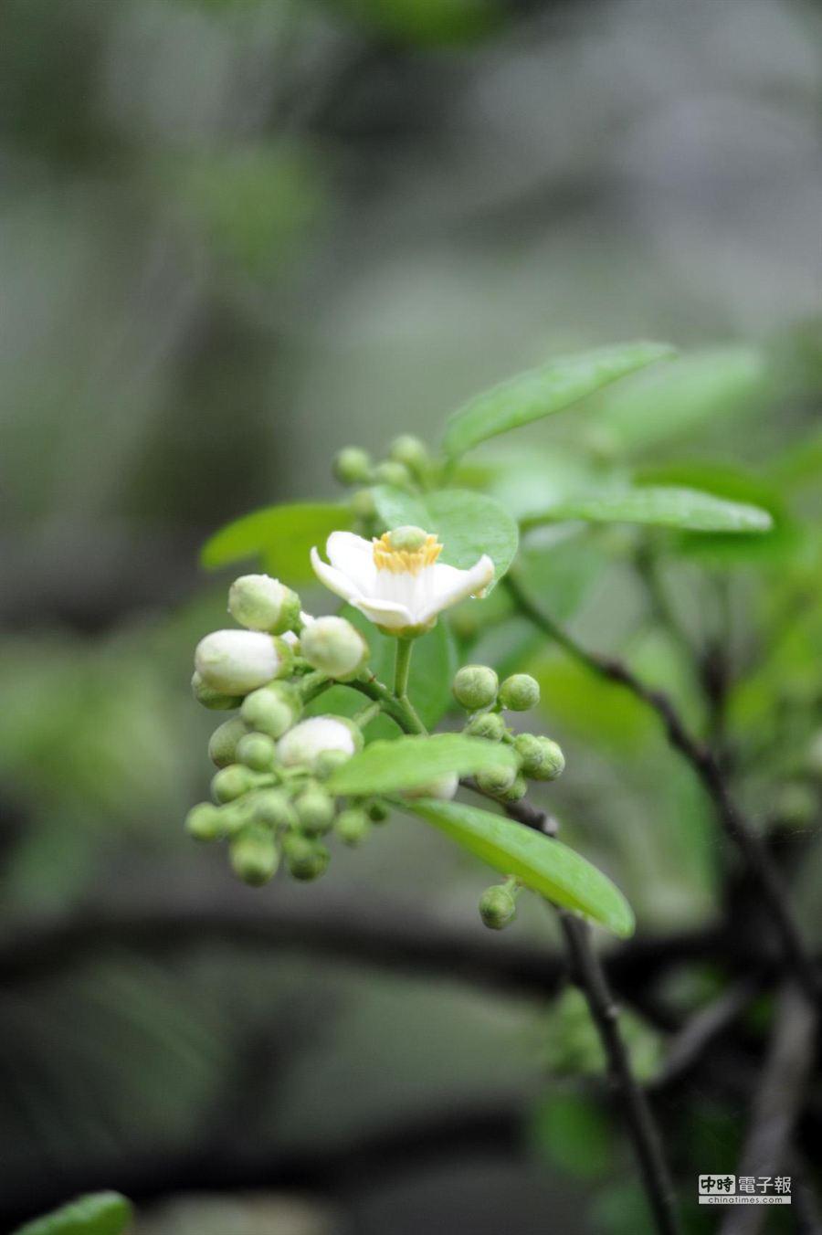 最近行經西湖總有柚花飄香。(陳慶居攝)