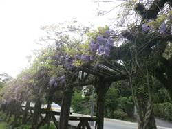 紫藤花開 花期可到4月中