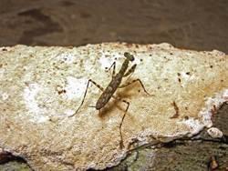 發現19種螳螂新品種