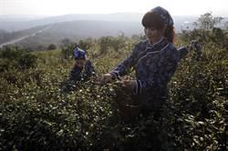 碧螺春開採上市 「名茶」變身成「民茶」