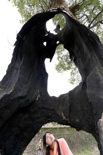樹堅強 空心古樟屹立不倒