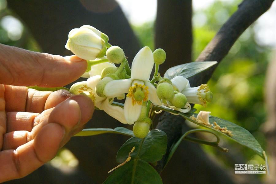 白色的文旦花雌熊同株,不需蜜蜂授粉。(周麗蘭攝)