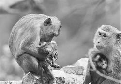 猴王掐死私生子 母猴抱屍十天不棄