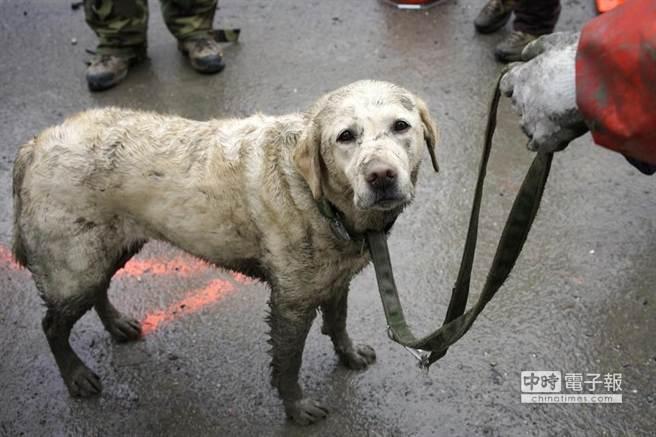 美華盛頓州泥石流災難現場,動員大批搜救犬。(取材自華爾街日報)